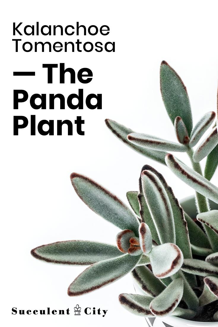 Kalanchoe tomentosa the panda plant
