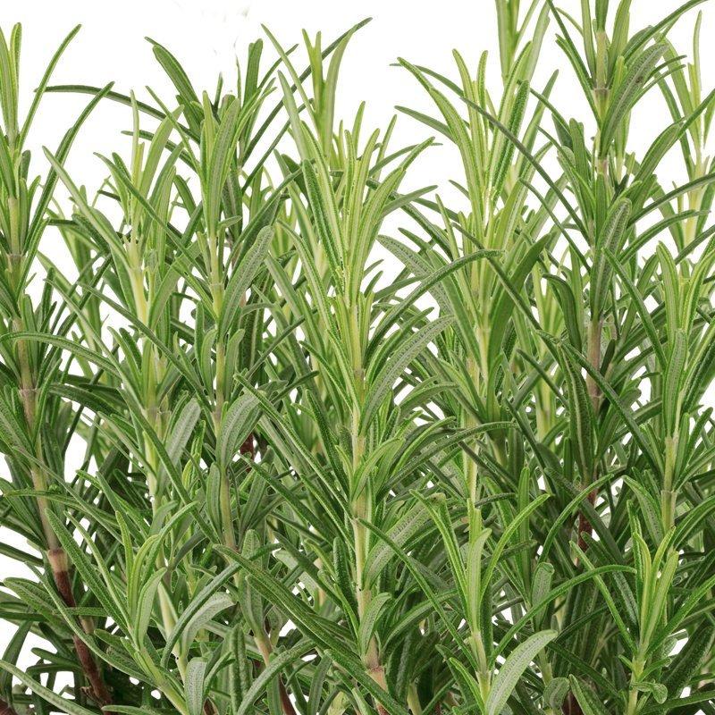 Rosemary Seed Pod Kit (6-Pod)
