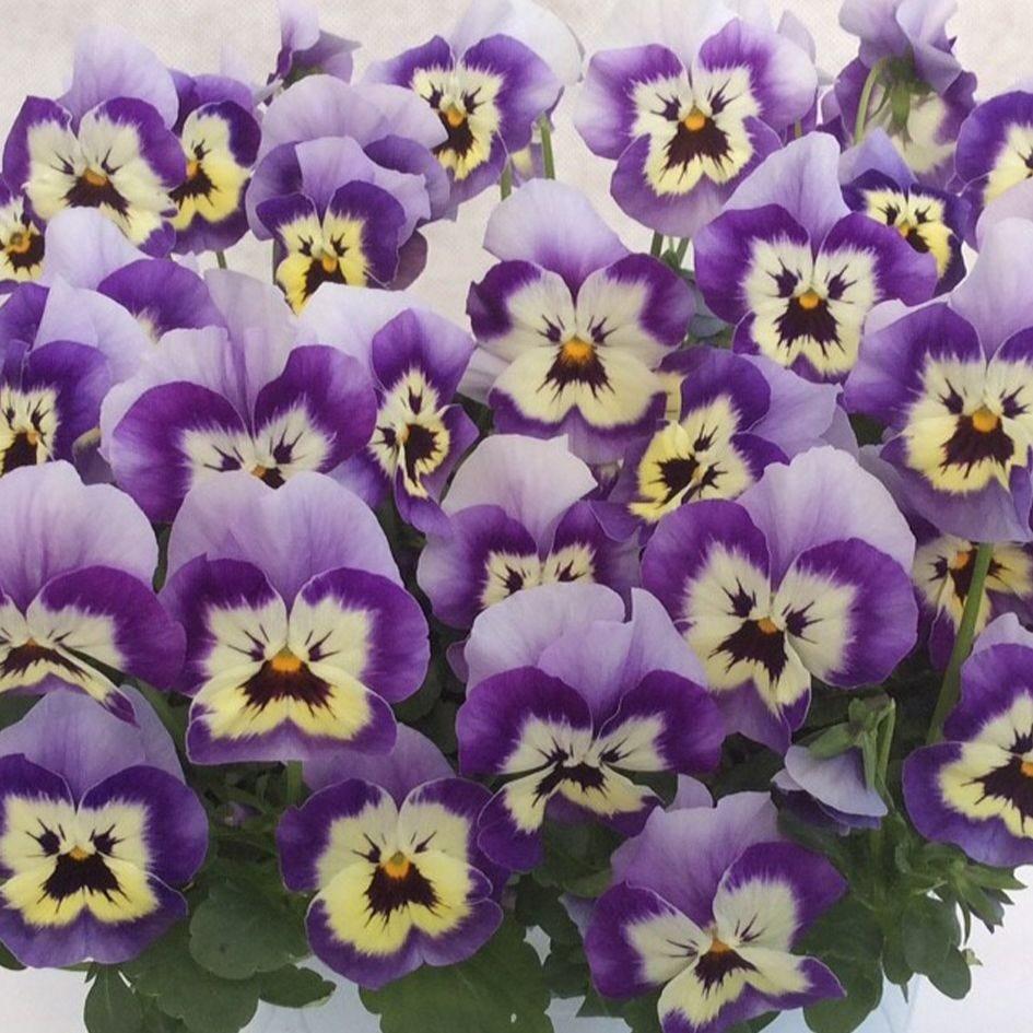 Viola F1 Sorbet XP Raspberry Sundae Mixed by Gardening Direct